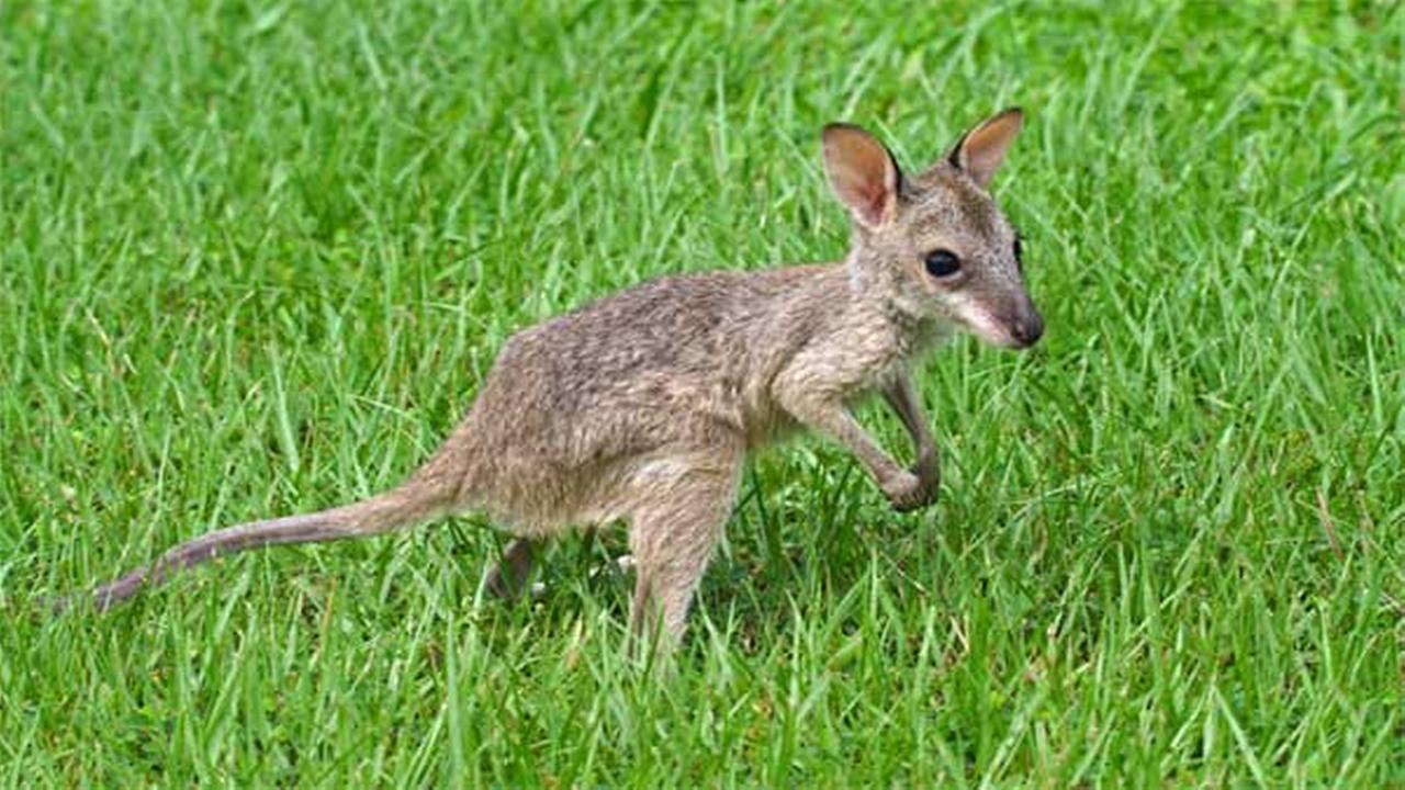 Wisconsin city bars use of kangaroos as service animals