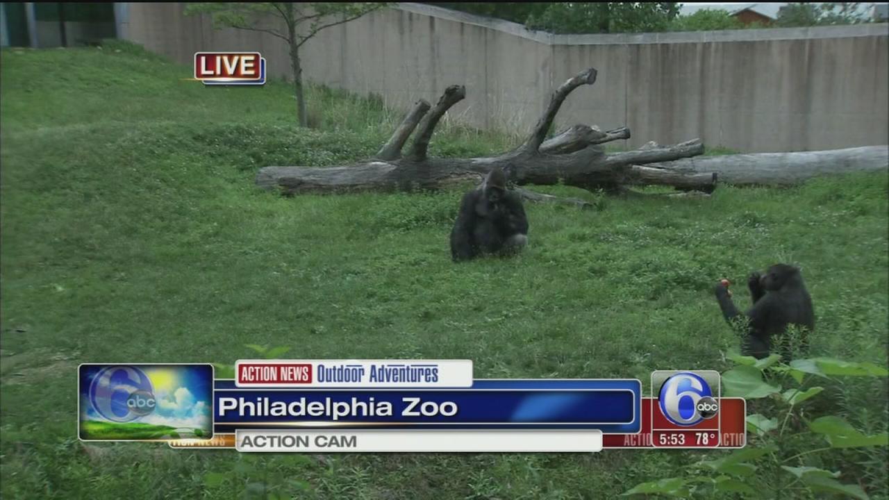 VIDEO: Cecily Tynan feeds gorillas at Phila. Zoo