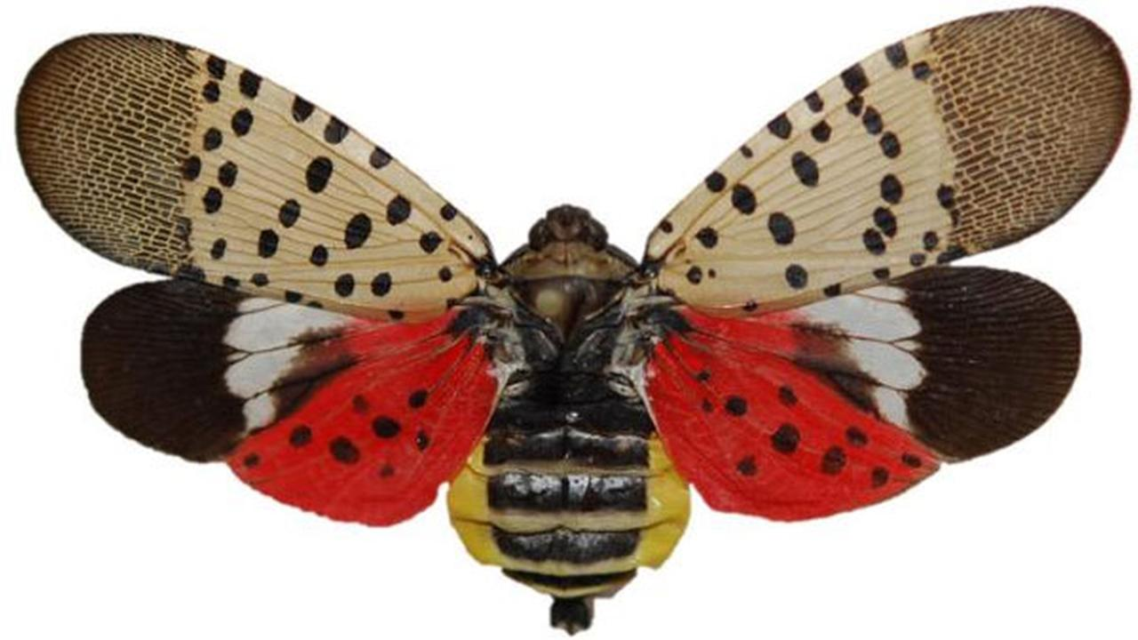 The Pennsylvania Department of Agriculture says if you see a Spotted Lanternfly, destroy it.