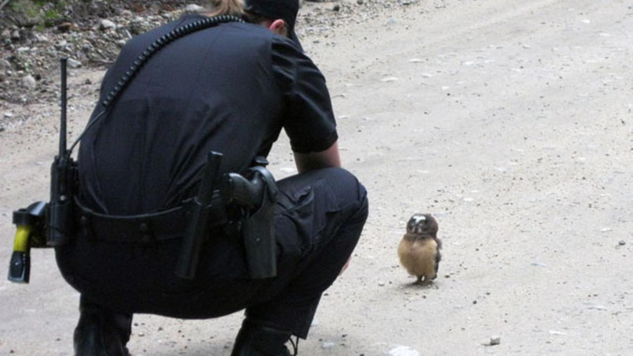 In this July 21, 2015 photo, provided by Boulder County Sheriffs Deputy, Deputy Sophie Berman crouches over a small owl.