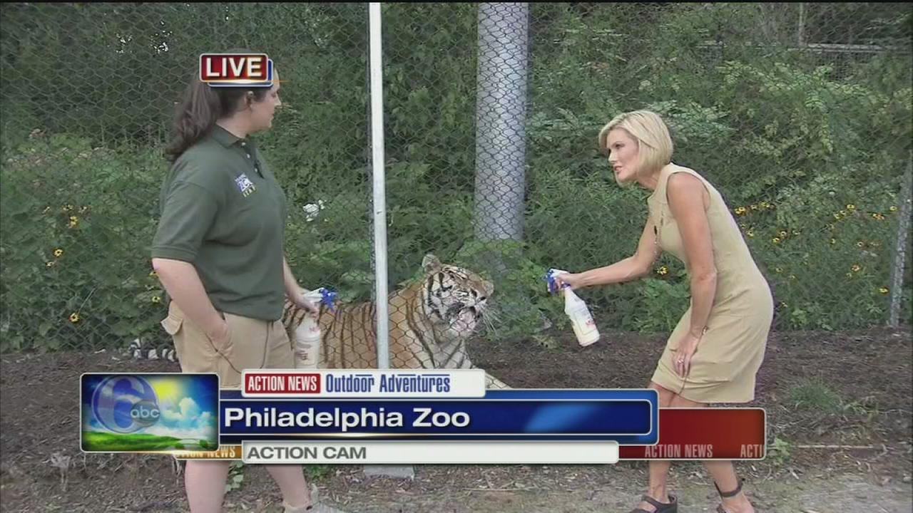 VIDEO: Cecily Tynan feeds a tiger at the Phila. Zoo