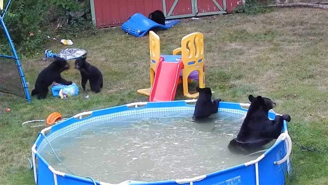 bears frolic at wild pool party in nj 6abc com