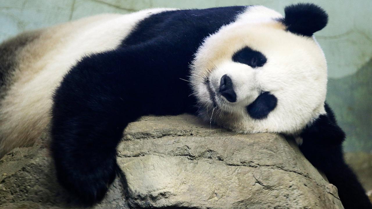 The Smithsonian National Zoos Giant Panda Mei Xiang, mother of panda youngster Bao Bao who was born Aug. 23, 2013, sleeps in the indoor habitat at the zoo in Washington, Wednesday, Aug. 12, 2015.