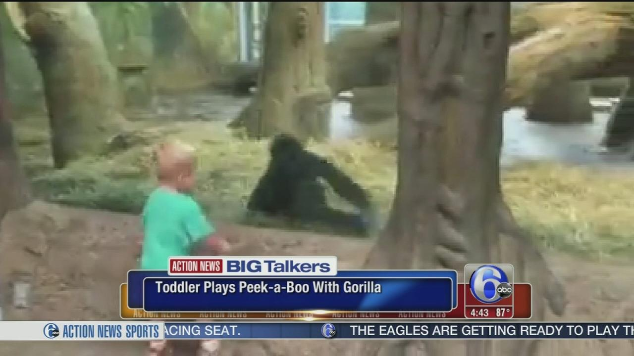 VIDEO: Toddler plays peek-a-boo with gorilla