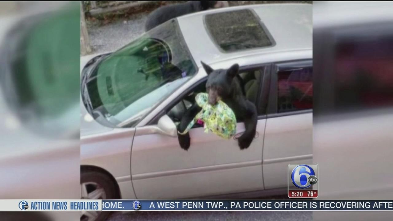 VIDEO: Bears break into car and steal lunch