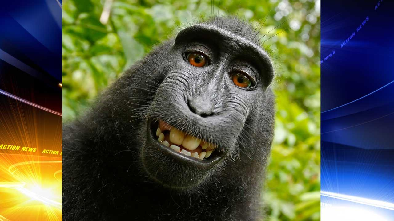Sides agree to stop monkeying around in primate selfie suit