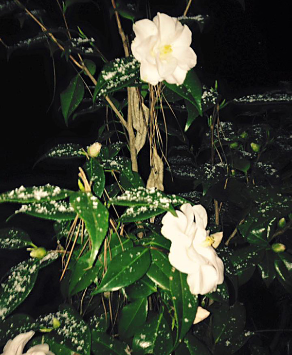 "<div class=""meta image-caption""><div class=""origin-logo origin-image none""><span>none</span></div><span class=""caption-text"">Snow on the flowers in Knightdale.</span></div>"
