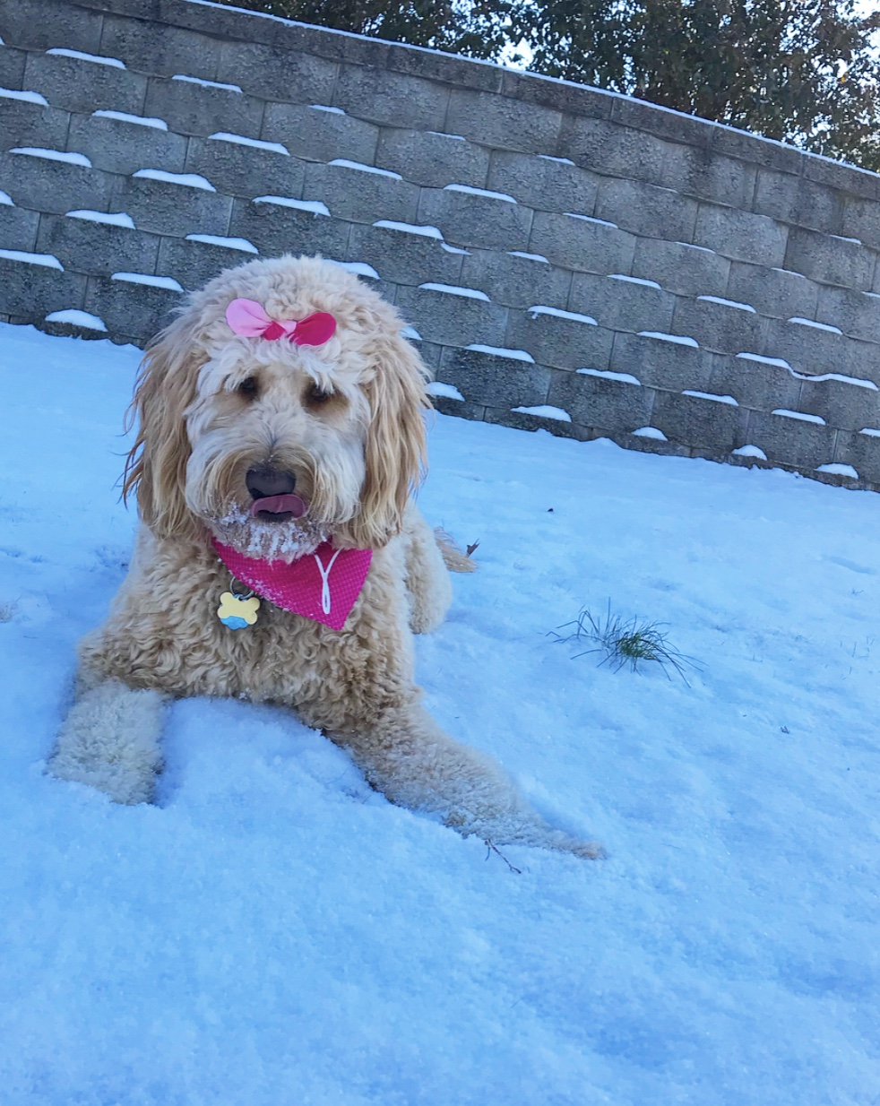 """<div class=""""meta image-caption""""><div class=""""origin-logo origin-image wtvd""""><span>WTVD</span></div><span class=""""caption-text"""">Lilly P is a 1-year-old Goldendoodle and she loved playing in the snow at home in Fayetteville! (Lindsey Playforth - ABC11 Eyewitness)</span></div>"""