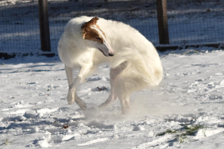 "<div class=""meta image-caption""><div class=""origin-logo origin-image wtvd""><span>WTVD</span></div><span class=""caption-text"">Vanilla the Borzoi dancing a pirouette in the snow. (Margaret Piocne - ABC11 Eyewitness)</span></div>"