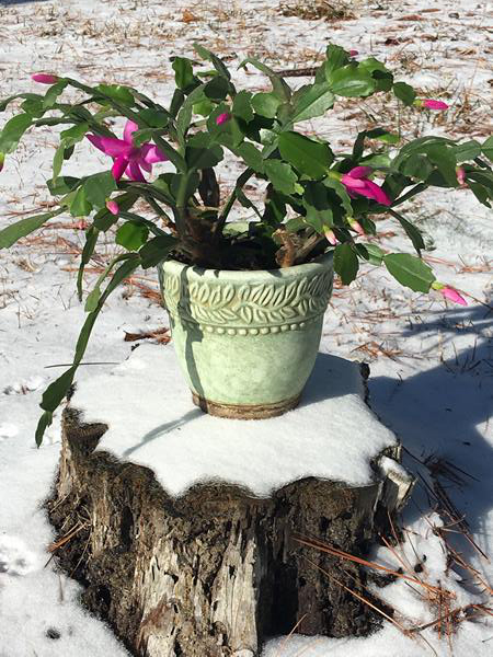 "<div class=""meta image-caption""><div class=""origin-logo origin-image wtvd""><span>WTVD</span></div><span class=""caption-text"">She (our pink Christmas cactus) has not bloomed in 10 years. Did not make it for Christmas but beautiful lakeside in the snow! (Lorie Robertson - ABC11 Eyewitness)</span></div>"