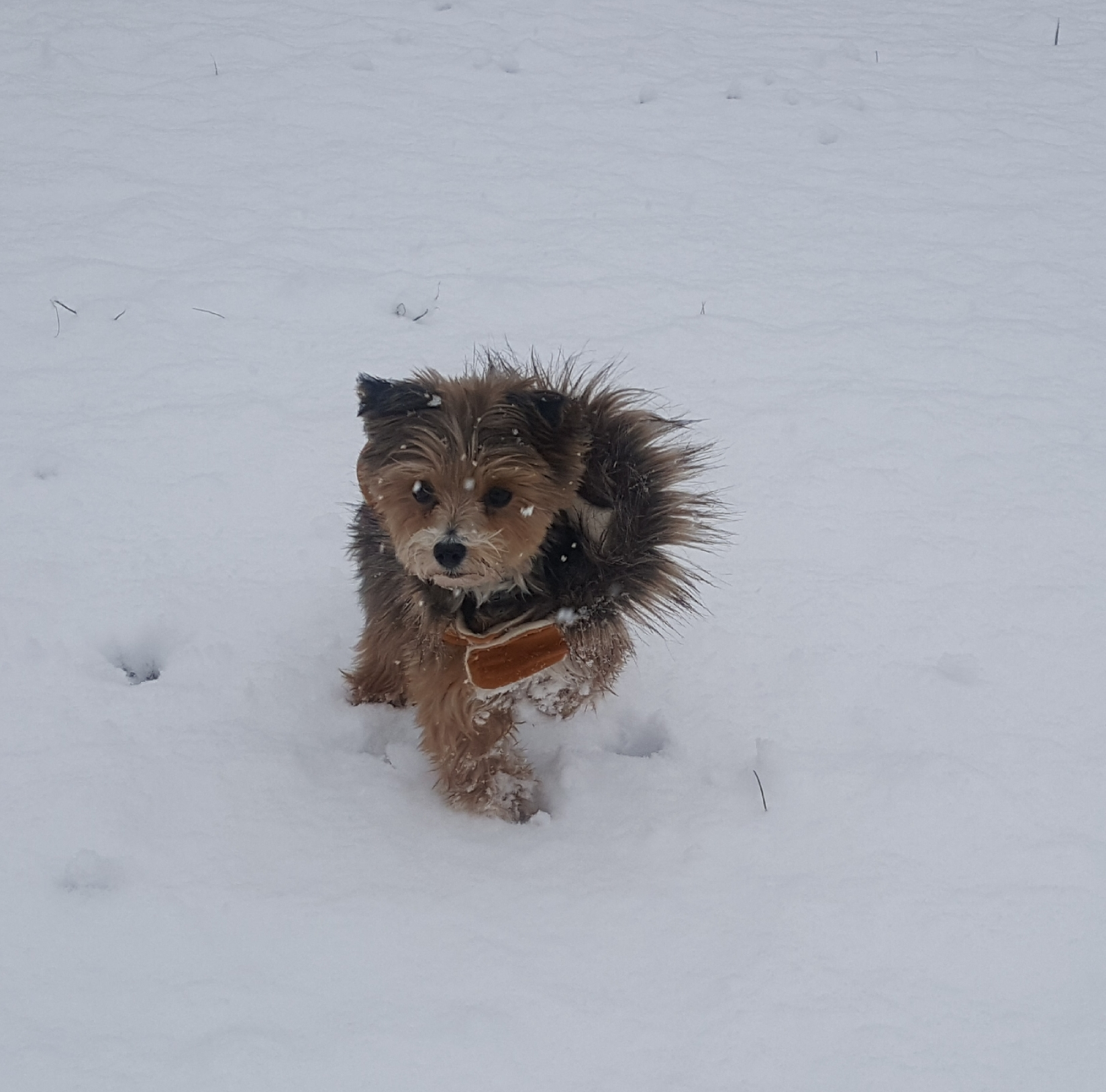 "<div class=""meta image-caption""><div class=""origin-logo origin-image wtvd""><span>WTVD</span></div><span class=""caption-text"">Yorkipoo Zoey playing in the snow in northern Granville County, Salem Township. (ABC11 Eyewitness)</span></div>"