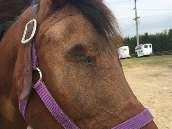 <div class='meta'><div class='origin-logo' data-origin='WTVD'></div><span class='caption-text' data-credit=''>Layla the horse lost her right eye to a gunshot wound</span></div>
