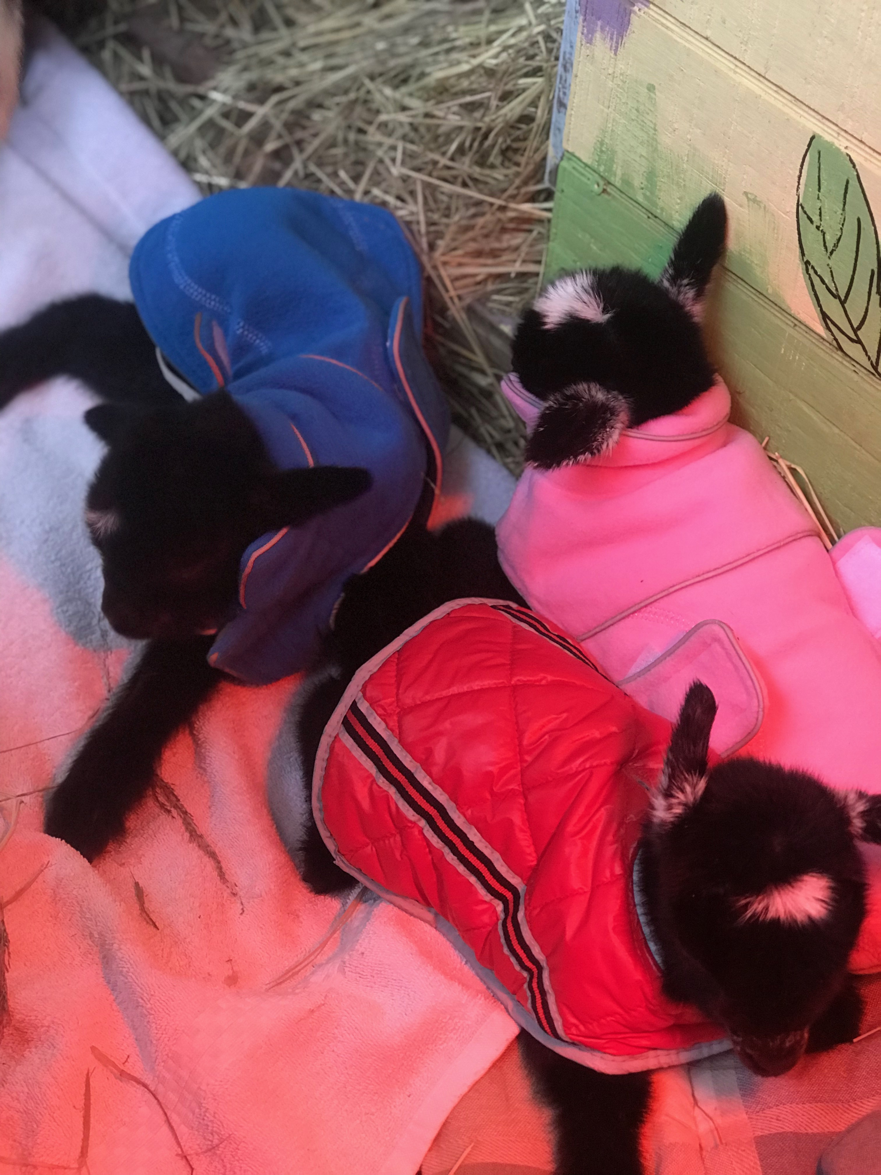 <div class='meta'><div class='origin-logo' data-origin='none'></div><span class='caption-text' data-credit='Credit: Winterpast Farm'>The triplets getting all cozy in their coats</span></div>