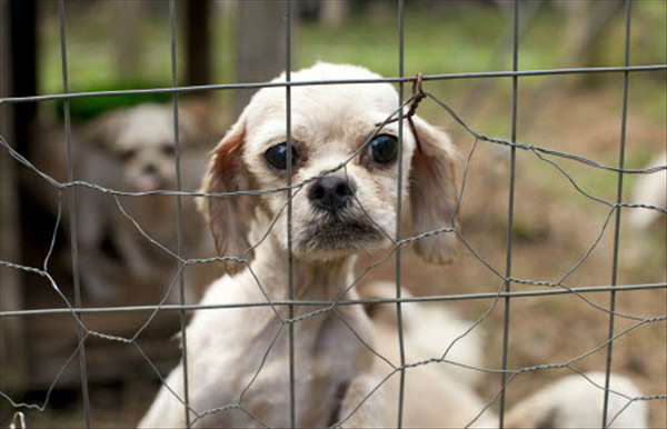 More than 50 dogs are receiving medical attention after a bust at a suspected puppy mill in Rutherford County. <span class=meta>(WTVD Photo&#47; Humane Society)</span>