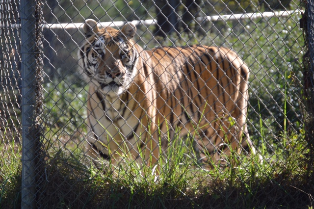 <div class='meta'><div class='origin-logo' data-origin='WTVD'></div><span class='caption-text' data-credit='Angelica Alvarez'>Fifty-five animals call Carolina Tiger Rescue home. There are about 10 species including tigers, lions, and leopards.</span></div>