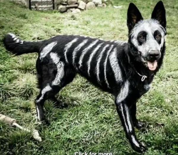 <div class='meta'><div class='origin-logo' data-origin='none'></div><span class='caption-text' data-credit=''>Skeleton Dog - sent in by Millbrook Dog Park</span></div>