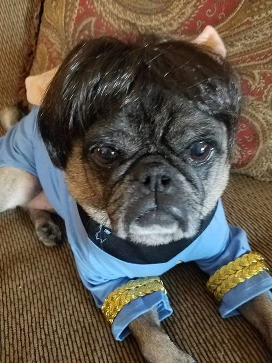 <div class='meta'><div class='origin-logo' data-origin='none'></div><span class='caption-text' data-credit=''>Murphy the pug as Mr. Spock - Shelagh O?Sullivan Lane</span></div>