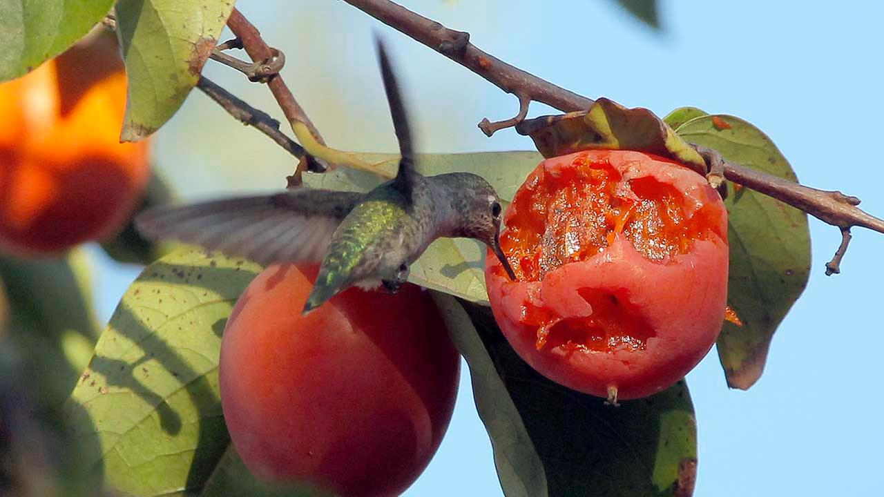 A hummingbird is a small bird eating persimmon fruit in Monterey Park, Calif.., Saturday, Sept 28, 2013.