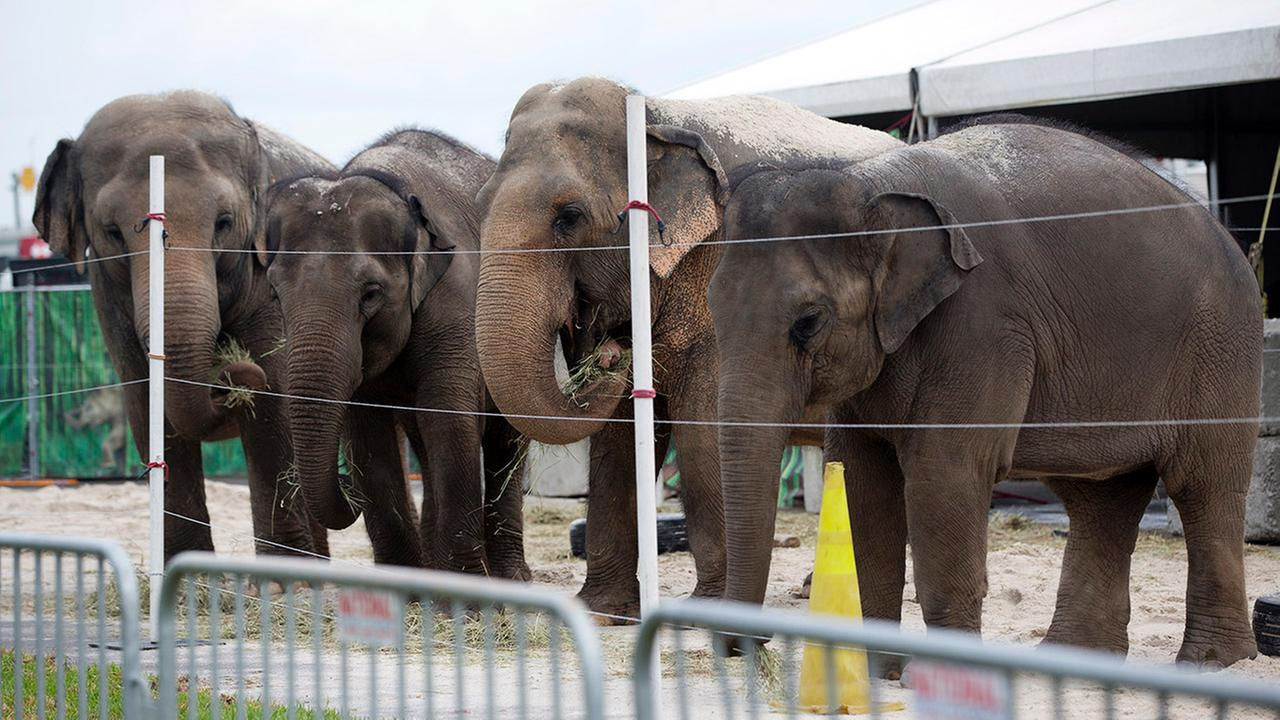 In this Friday, Jan. 8, 2016 photo, Asian elephants belonging to Ringling Bros. and Barnum and Bailey Circus, eat hay in their enclosure outside the American Airlines Arena in Miami.