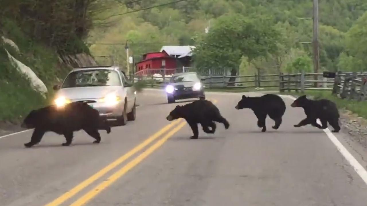 Video of momma bear and 4 cubs in Banner Elk goes viral