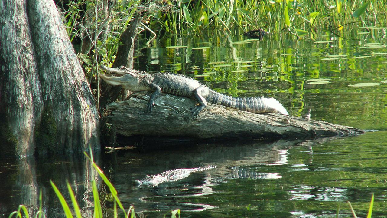 Nc Biologist Has Tips On Alligator Awareness Safety