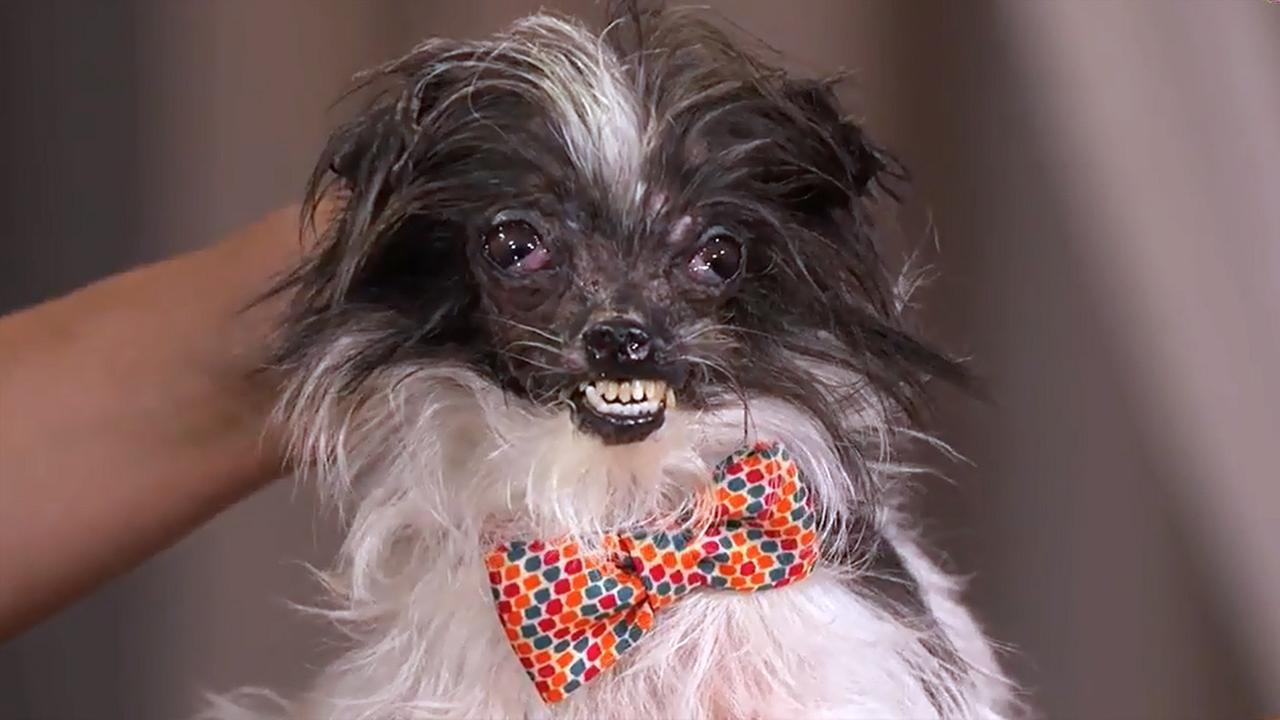 Ugliest Dog Alive  world s ugliest dog  gets aUgliest Cat Alive