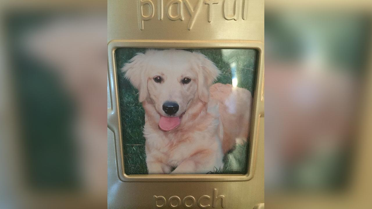 Rosy the Golden Retriever