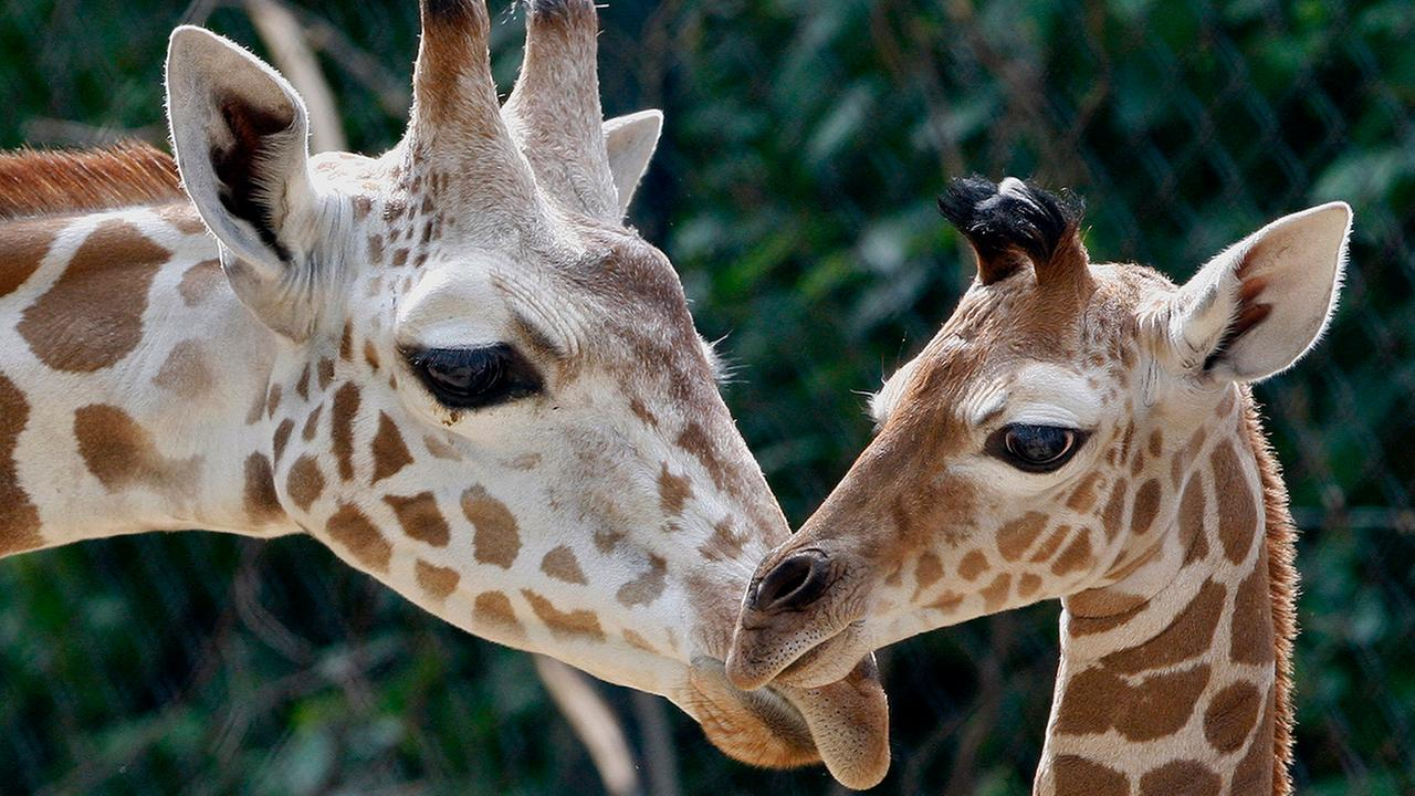 Two weeks-old female giraffe calf Shani, right, stands next to another giraffe in their enclosure at the zoo in Frankfurt, central Germany, on Thursday, May 29, 2008.