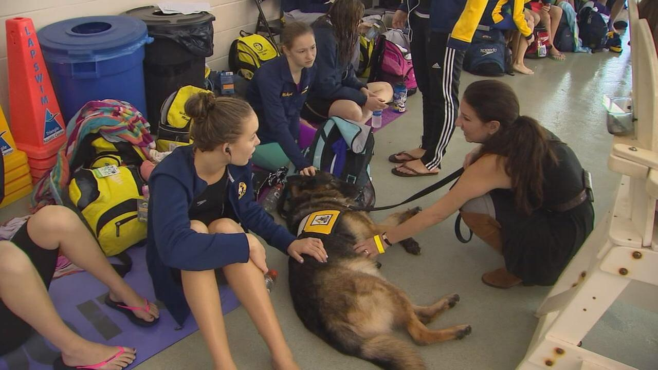 Dogs are being used to help swimmers before their races