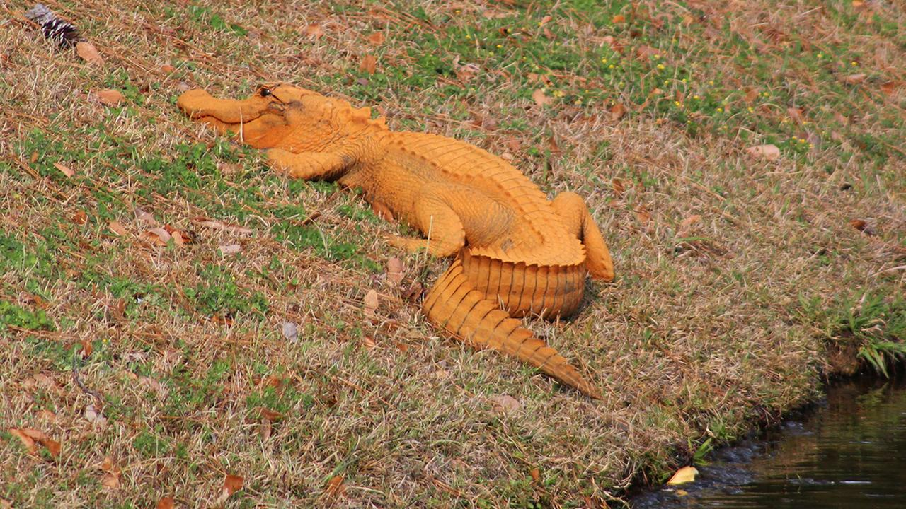 In a photo provided by Stephen Tatum, an orange alligator is seen near a pond in Hanahan, S.C. Photos show the 4- to 5-foot-long alligator on the banks of a retention pond at the Tanner Plantation neighborhood.