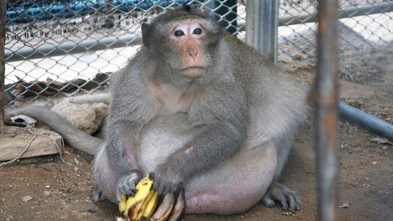 A wild obese macaque named Uncle Fat, who was rescued from a Bangkok suburb, sits with bananas in a rehabilitation center in Bangkok, Thailand, Friday, May 19, 2017.