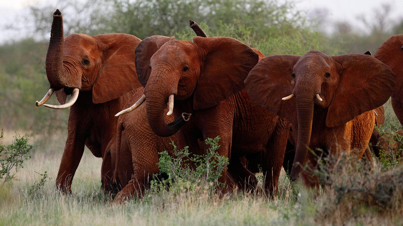 In this file photo taken Tuesday, March 9, 2010, elephants use their trunks to smell for possible danger in the Tsavo East national park, Kenya.