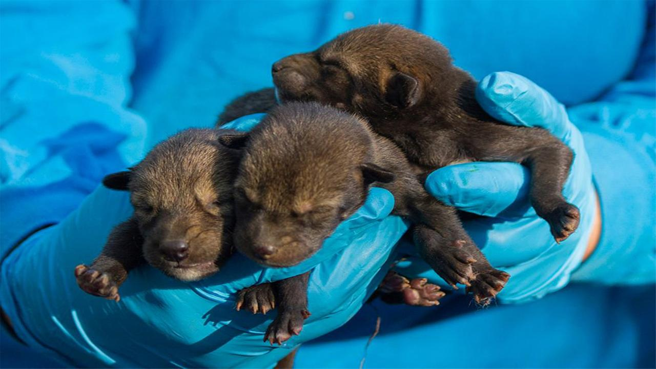 NC Museum of Life and Science welcomes new litter of red wolf pups