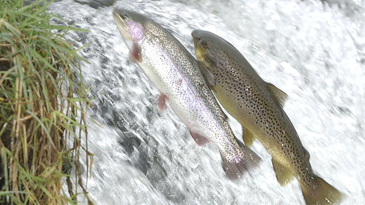 Trout jumping in a river
