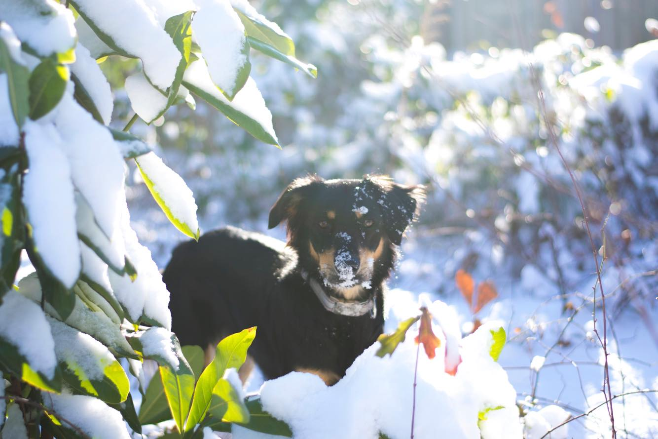 """<div class=""""meta image-caption""""><div class=""""origin-logo origin-image none""""><span>none</span></div><span class=""""caption-text"""">This little pup is loving the snow in Raeford (Credit: Ashleigh Shinkle)</span></div>"""