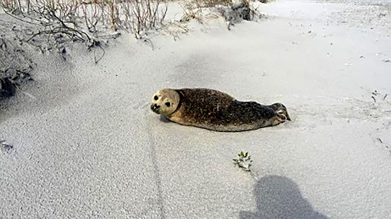 A seal sunned on the beach Wednesday until human visitors sent it scurrying into the Atlantic Ocean.