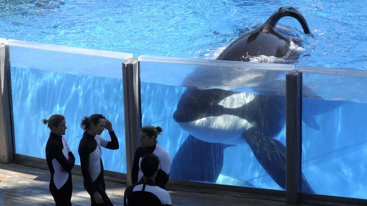 Killer whale Tilikum, right, watches as SeaWorld Orlando trainers take a break during a training session at the theme parks Shamu Stadium in Orlando, Fla.