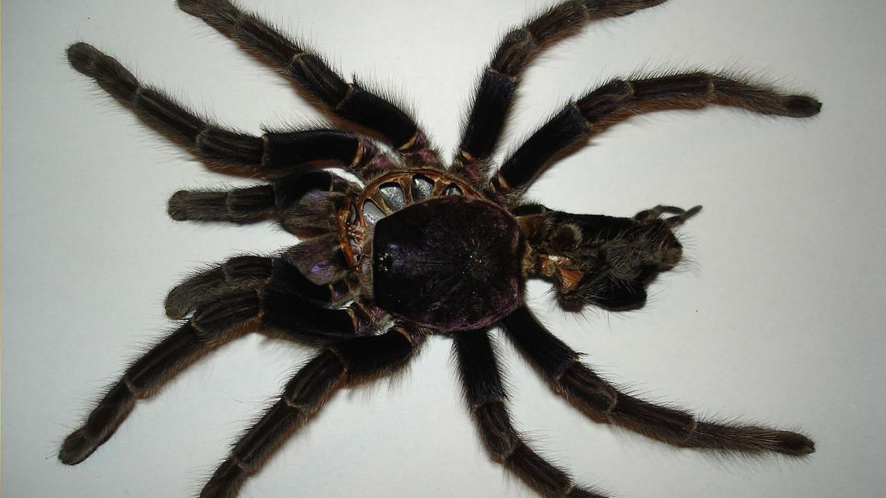 Phormictopus cancerides (image source: Wikimedia Commons)