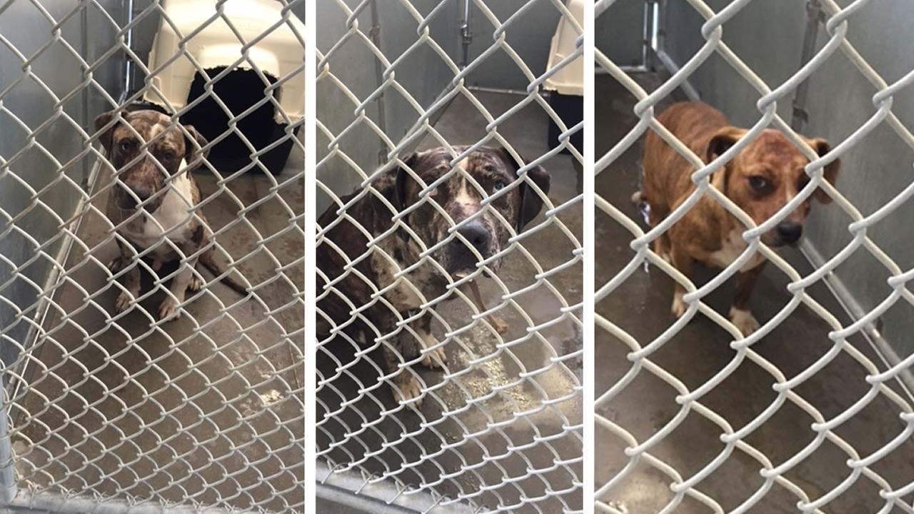 Three dogs involved in a Hoke County attack on a child (WTVD photos/Greg Barnes)