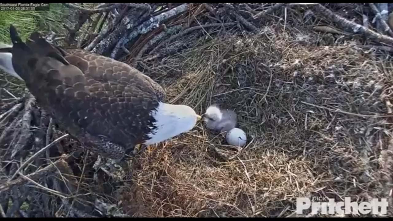 Eagle Cam image courtesy Dick Pritchett Real Estate