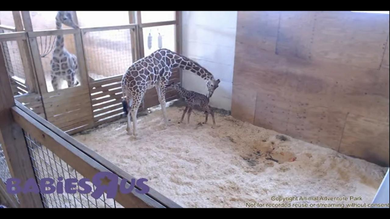 April welcomes her new baby giraffe