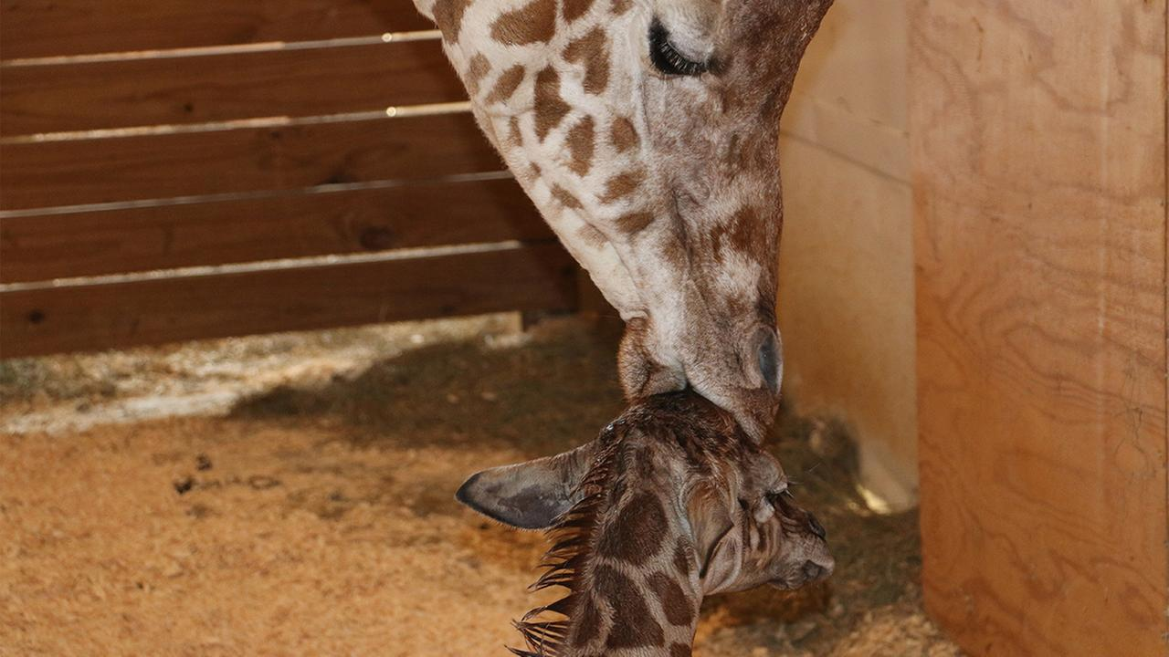 April recovering perfectly after giving birth, park officials say
