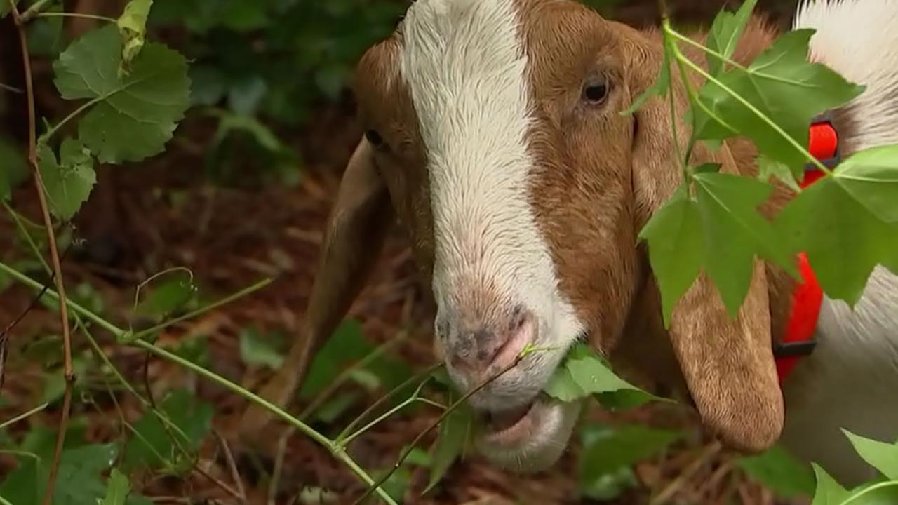 Sheriff: Man helped give goat whiskey, cocaine