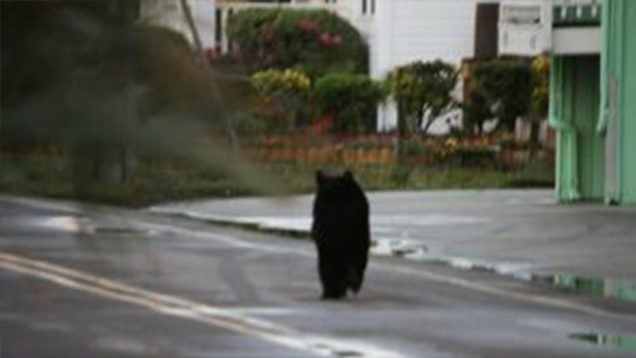 This black bear was spotted on Canal Drive Sunday morning