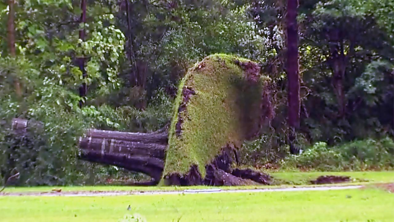 A massive tree was felled in Sampson County.