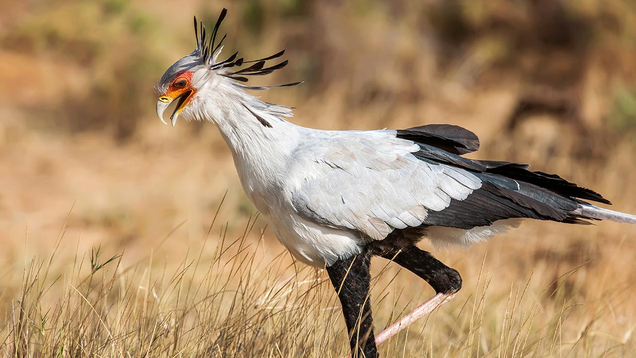 A secretary bird. similar to the ones that escaped from the NC Zoo in Asheboro.