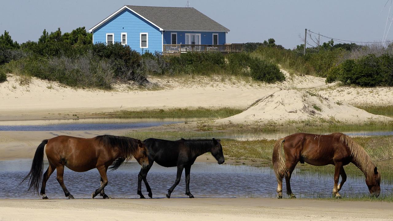 In this 2010 photo, wild horses are seen in Corolla, N.C. (AP Photo/Gerry Broome)