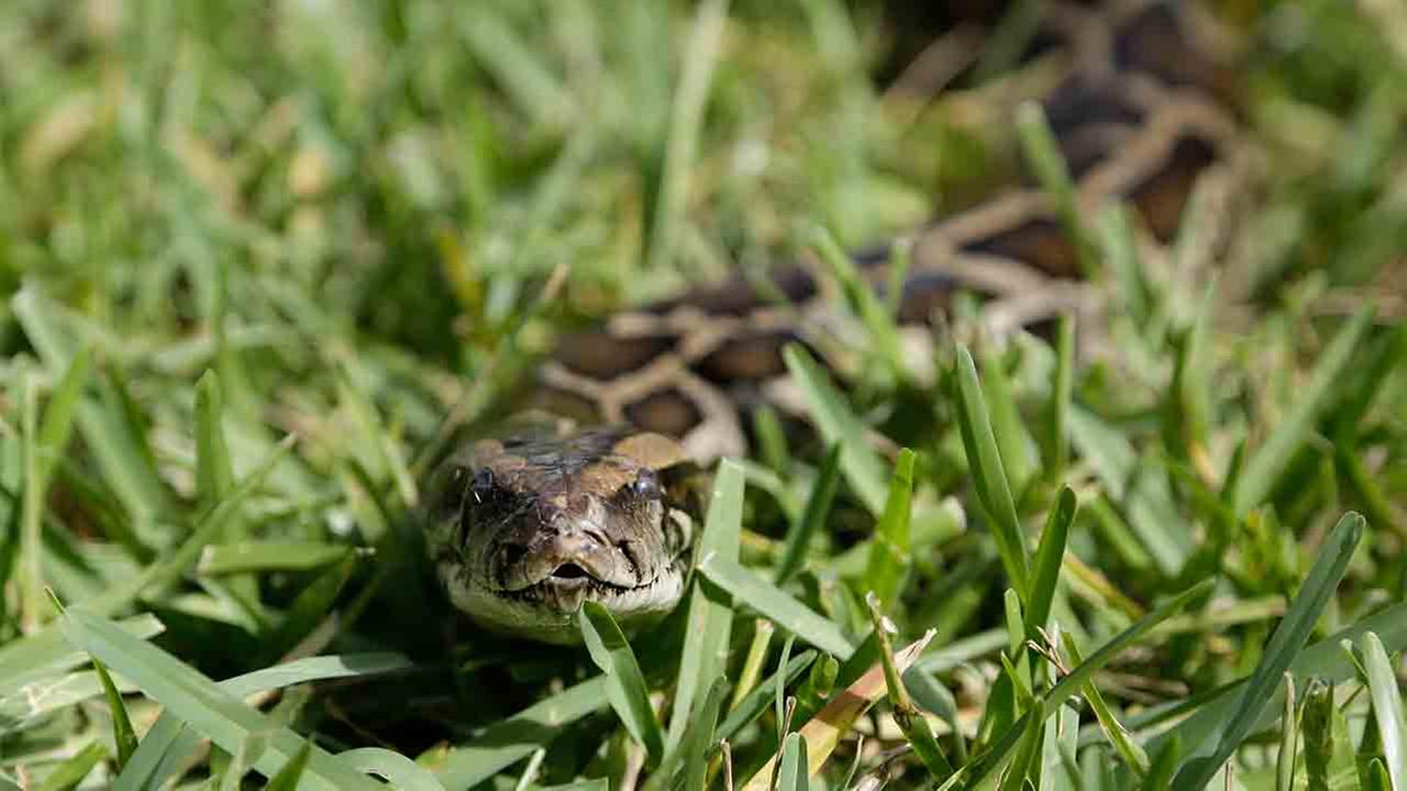 File photo of a python