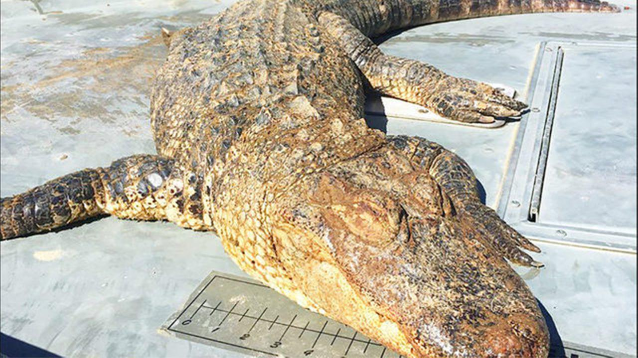 An Alligator was found on Lake Wylie on Sunday.