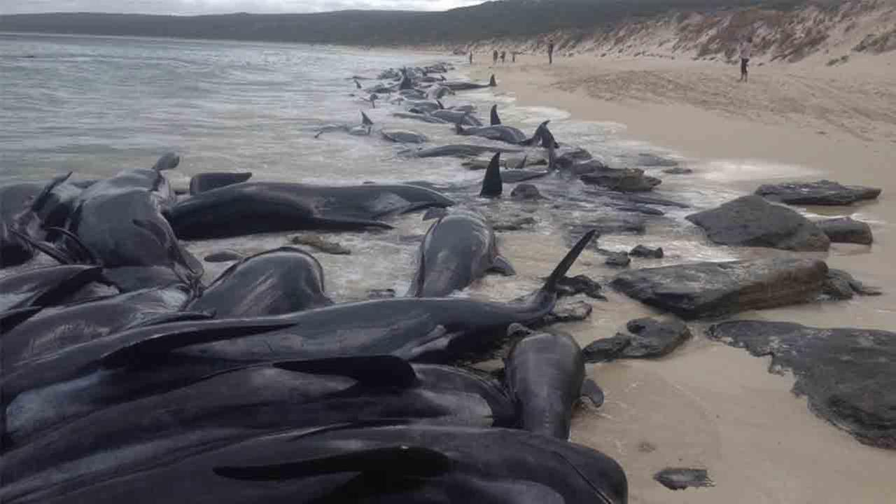 150 short-finned pilot whales wash up at Hamelin Bay